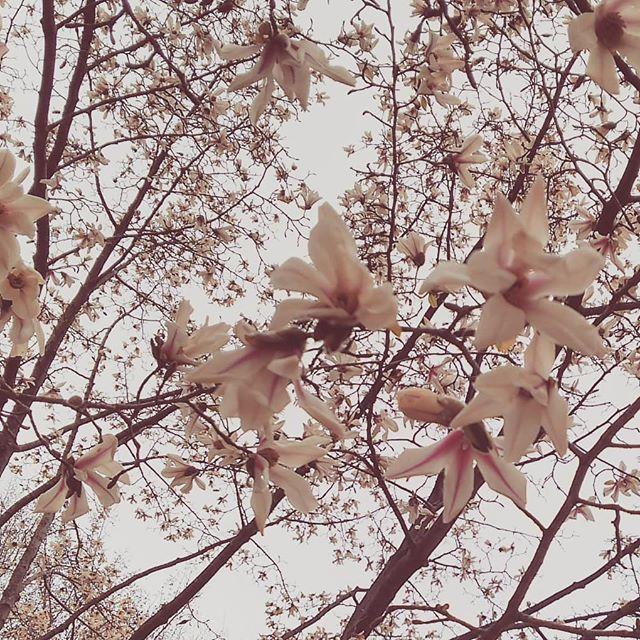 #コブシ 満開 #kobushi #magnolia  #kobushimagnolia