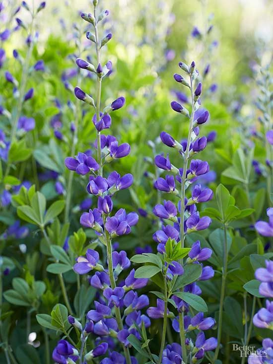 Enjoy towers of gorgeous blue, purple, yellow, or white flowers every spring…