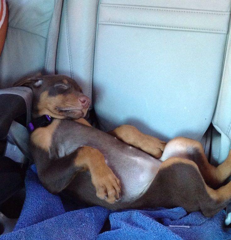 The 10 Most Awkward Doberman Pinscher Sleeping Positions