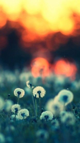 Dandelions at Sunset Bokeh - The iPhone Wallpapers