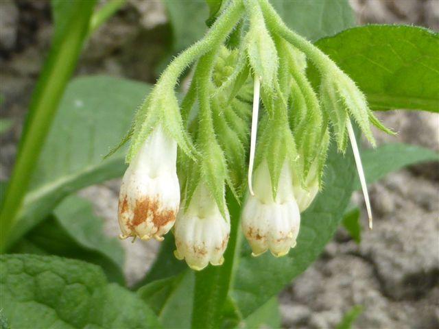 smeerwortel bloem wit