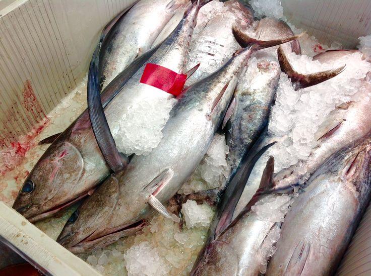 Bonitos de Santoña recién pescados. Bonito del cantábrico.