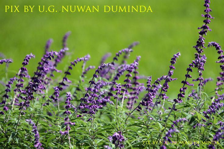 Pix By U G Nuwan Duminda Botanical Gardens Plants Botanical