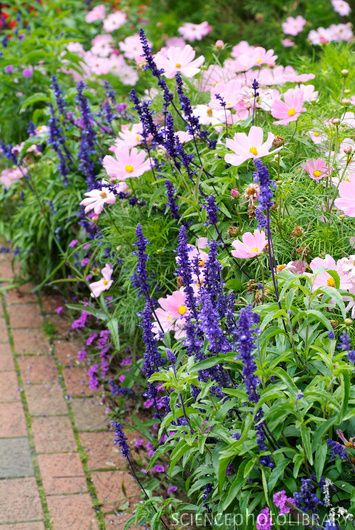 I have always used blue salvia and pink cosmos in all my gardens ....love the look...