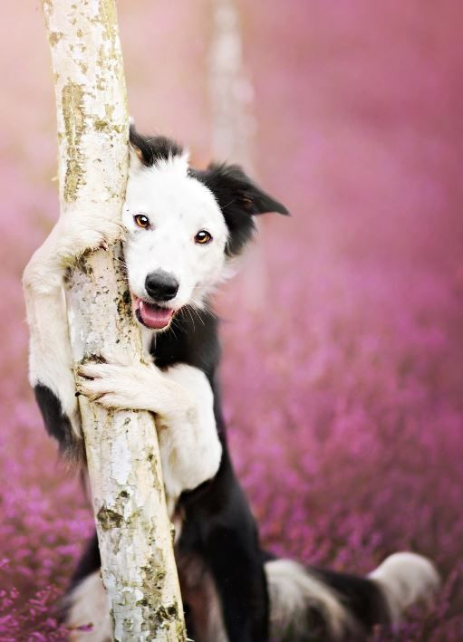 Heath Queen   -  Border Collie,  Madlene   -  2012   -   Alicja Zmyslowska photography   -   https://500px.com/photo/89164933/heath-queen-by-alicja-zmyslowska?from=user   -   -   https://www.facebook.com/zmyslowska.photo