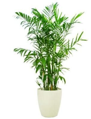 Healthiest indoor plants to improve air quality: bamboo palm would look good in living room corner