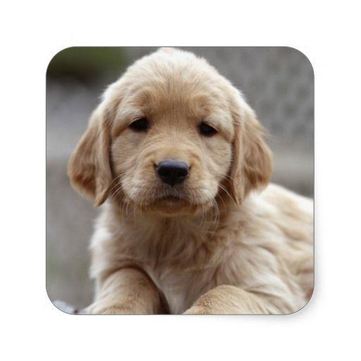Golden Retriever Puppy 2 Square Stickers Dog Boarding Happy