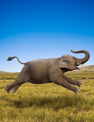 Dumbo??  ~~Elephant in motion by John Lund / Getty Images~~