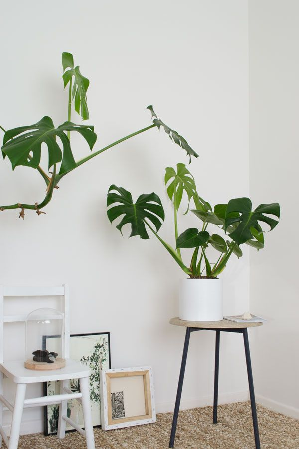Urban Jungle Book | Living + Styling With Plants | Cheese plant | Swiss cheese plant | Monstera Deliciosa styled in a bright white interior with natural textures