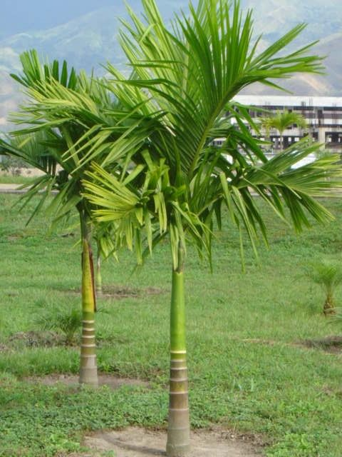 Palma Manila - Veitchia merrilli  #DeCaliSeHablaBien