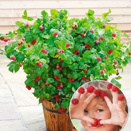 Topf-Himbeere 'Ruby Beauty®',1 Pflanze