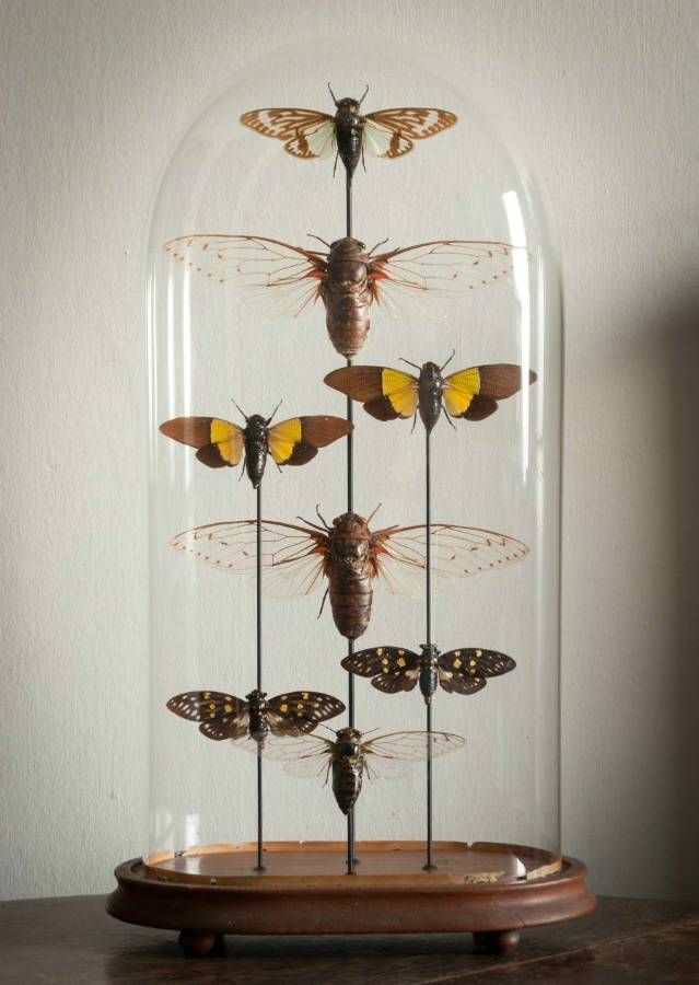 Cicada Dome in Decorative from Alex Macarthur