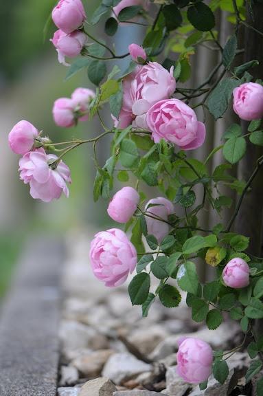 Rosa macrantha 'Raubritter'   Zon IV. Vacker gammaldags ros som fungerar som klätterros, buskros och marktäckande ros. Rikblommande med medelstora, fyllda vackert rosa bollformade blommor som har lång hållbarhet och överhängande växtsätt. Gör sig bra t.ex. hängande över en låg mur eller vid plank och pergolor. Svag doft. Engångsblommande. Uppkallad efter Raub Ritter, Fritz de Sickingen. 1.5 x 2.5 m. Kordes (Tyskland, 1936).