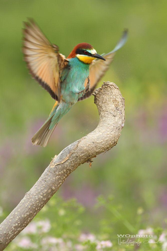 Approach - Bienenfresser - Merops apiaster - European Bee-eater