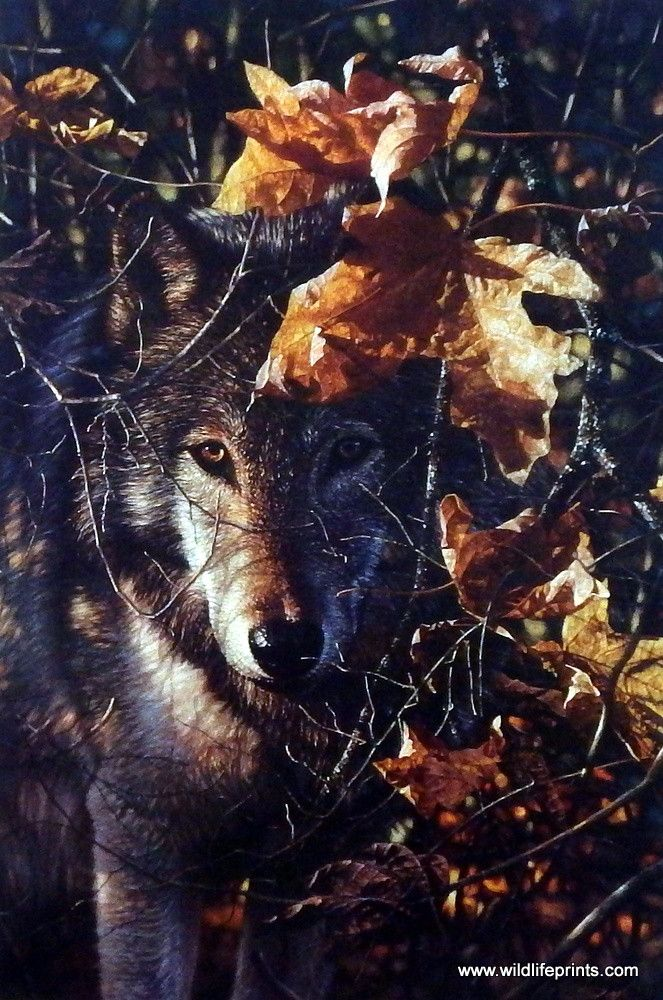 """A lone wolf takes cover under the colorful leaves of autumn in Collin Bogle's wildlife print NATURE'S COVER. Purchase this great wolf picture in an open edition unframed image size of 12"""" x 18""""."""