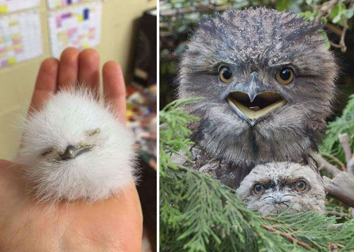 The World's Cutest Owl Look-Alike Is The Tawny Frogmouth (15+ Pics)