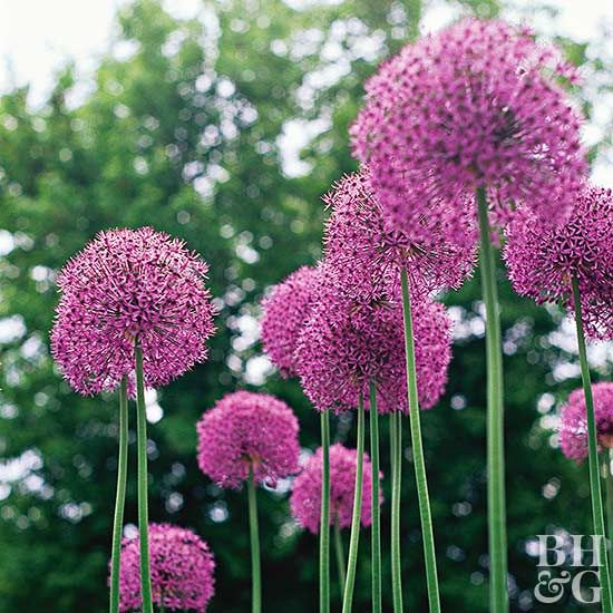 Allium holds its stunning bloom high above the foliage, adding whimsy and drama to any planting bed. Here are 16 top allium varieties that will add interest to your garden in the spring and summer.