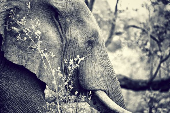 Wild elephant portrait by Anna_Om. Side view portrait of big beautiful elephant outdoors, black and white photo of the wild animal, safari game drive, E...