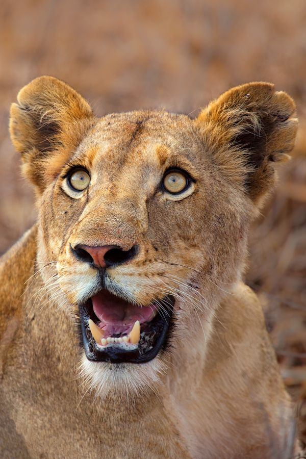 by Mario Moreno. A young lioness (Panthera Leo) poses beautifully with an angel like face. Image captured in Kruger.