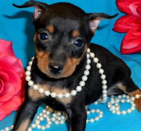 miniature pinscher for sale syracuse ny - photo#10