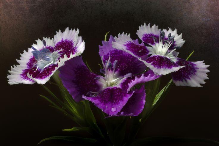 50 images on focus stacking http://marcellomachelli.500px.com/ Flores de primavera son los sueños de invierno