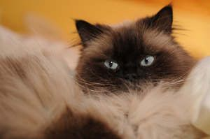 "Himalayan | Himalayan cats, or ""Himmies"", were developed in the mid-1900s by crossing Siamese cats with Persians."