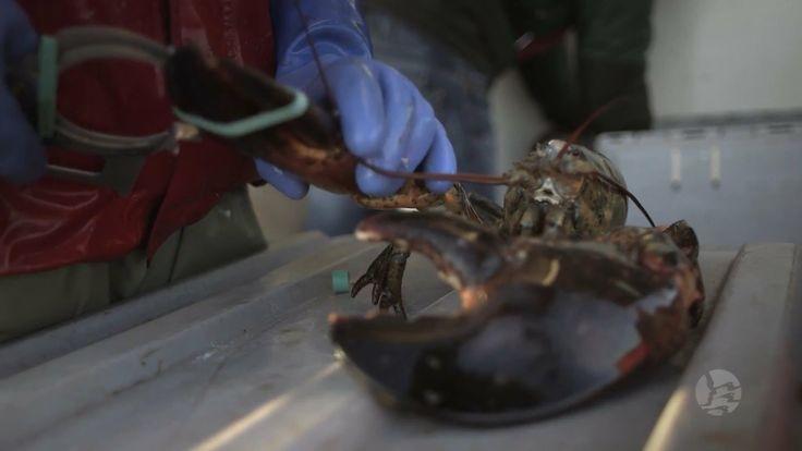 Lobster Fishing in Meteghan Nova Scotia