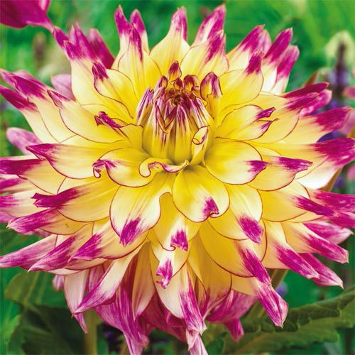 Zoey Rey Dahlia ~ this is a PARTY in a flower!