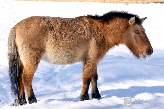 Животные Каракольского зоопарка: Лошадь Пржевальского