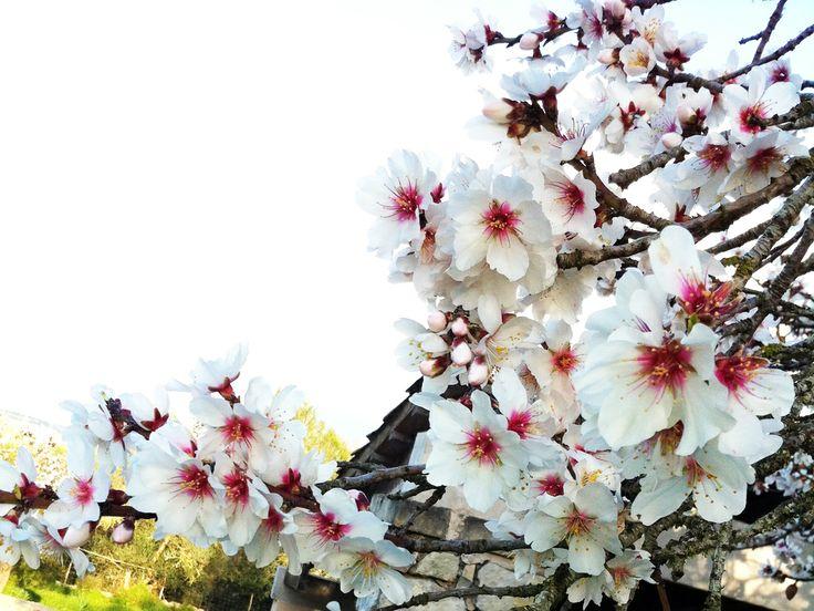 Die Mandelblüte auf Mallorca  Die Blütezeit der Mandelbäume ist das erste Frühlingserwachen im südeuropäischen Raum und die Sprossen beginnen sich, je nach Wetterlage, zwischen Anfang Januar und Anfang Februar zu öffnen und blühen dann bis in den März hinein. Zu dieser Zeit können rosa-weiß geschmückte Felder überall auf der Insel bewundert werden.   http://www.inmonova.com/blog/die-mandelblute-auf-mallorca/