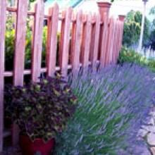 Munstead Lavender Plants--The best to grow in zone 5?