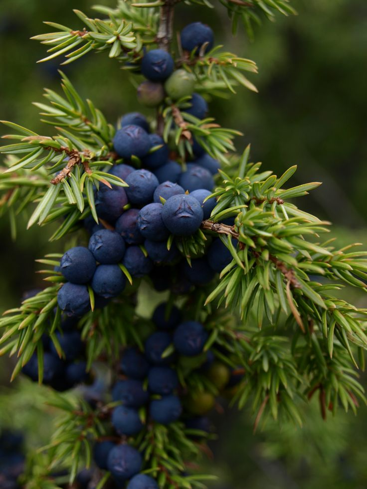 Juniper. Foliage and the blue berries are long-lasting