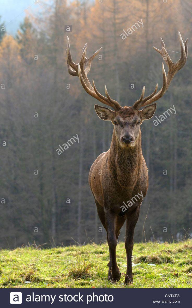 red deer (Cervus elaphus), stag standing in a meadow, Germany, North Rhine-Westphalia Stock Photo