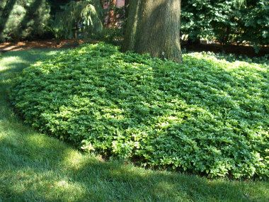Groundcovers under trees :: Planting something other than grass under a tree. Pachysandra around a Pin Oak