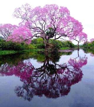 El segundo árbol de Venezuela. El Apamate.