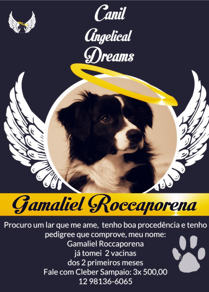 Border Collie com Pedigree À Venda
