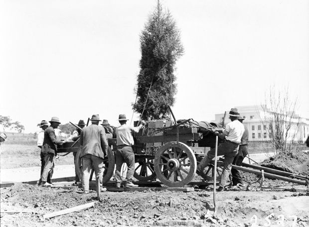 1 January, 1926, Canberra. Men plant large trees, with Parliament House in the background