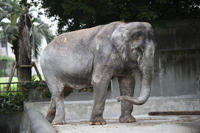 アジアゾウ「はな子」が人間に背を向け、壁を見ていた理由