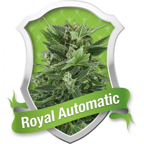 Quelque chose d'un peu différent pour les amateurs des variétés auto-florissantes. Royal Automatic est un croisement entre les variétés auto-florissantes Ruderalis et la Sativa, qui fleurit rapidement. L'influence Sativa, bien qu'elle soit légère, se remarque dans la hauteur de la plante. Elle reste compacte, mais plus grande par rapport à de nombreuses autres variétés auto-florissantes. En effet, elle pous…