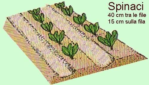 Gli spinaci, come coltivarli nell'orto - Coltivare l'orto