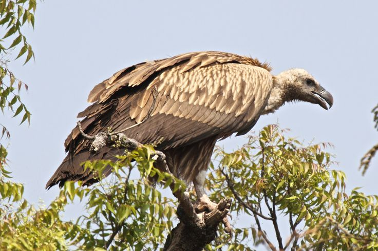 The Indian Vulture (Gyps indicus) has a bald head, very broad wings and short tail feathers. The species breeds mainly on cliffs, but is known to use trees to nest in Rajasthan. Like other vultures it is a scavenger, feeding mostly from carcasses of dead animals which it finds by soaring over savannah and around human habitation. They often move in flocks. The specie has suffered a 99%–97% population decrease between 2000-2007 due to poisoning caused by the veterinary drug diclofenac.