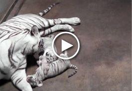 Dítě Bílý tygr