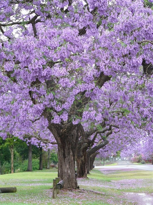 Good Trees For My Backyard : this is the tree I want for my yard Jacaranda Tree