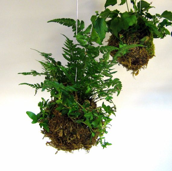 how to keep ferns in pots green