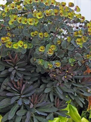 Euphorbia Blackbird. Photo: Skagit Gardens: Euphorbia Photos