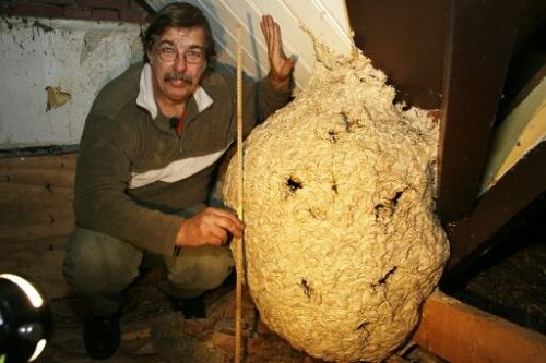 Een groot wespennest welke je maar zelden tegenkomt