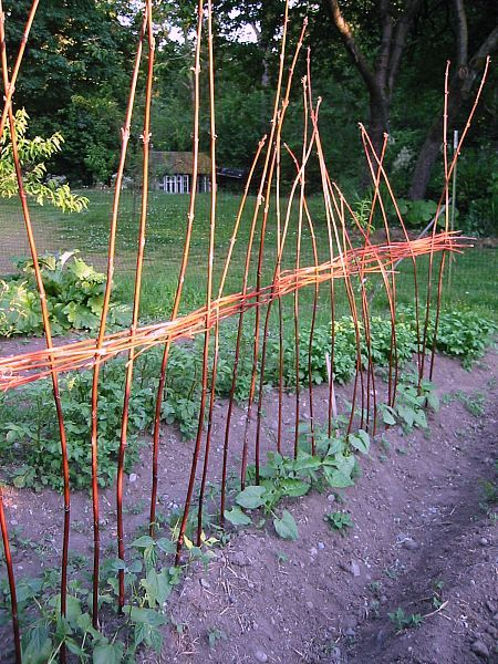 Staking Beans Small Budget Gardening Pinterest Beans