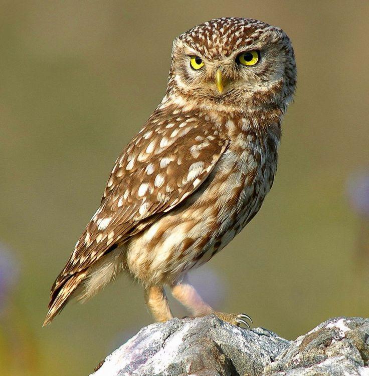 Burung Hantu http://ruparupa-birdsimages.blogspot.com/2014/08/owls.html