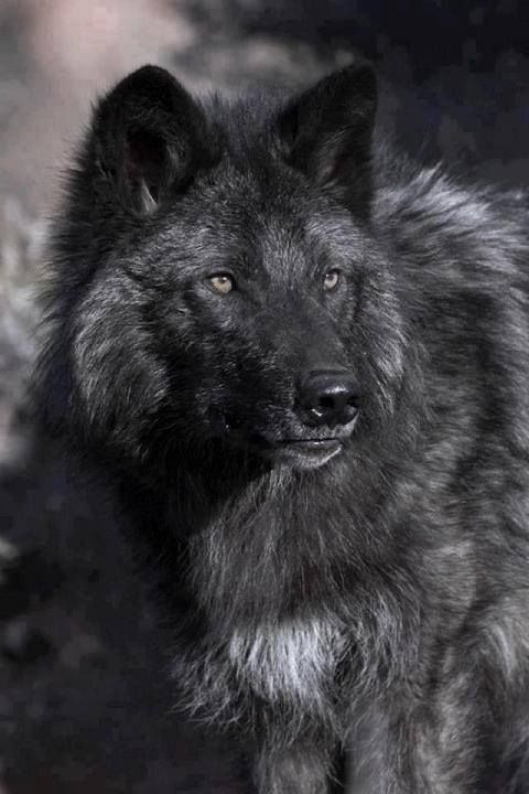 Beautiful Black wolf(Canis lupus), a melanistic variation of the Gray wolf.                                                                                                                                                      More