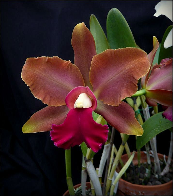 Orchid: Cattleya 'Elisabeth Fulton Michel' - Flickr - Photo Sharing!